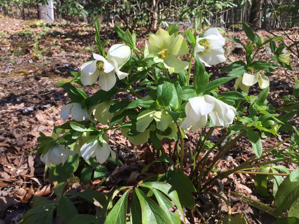 Lenten Rose March 2015 3