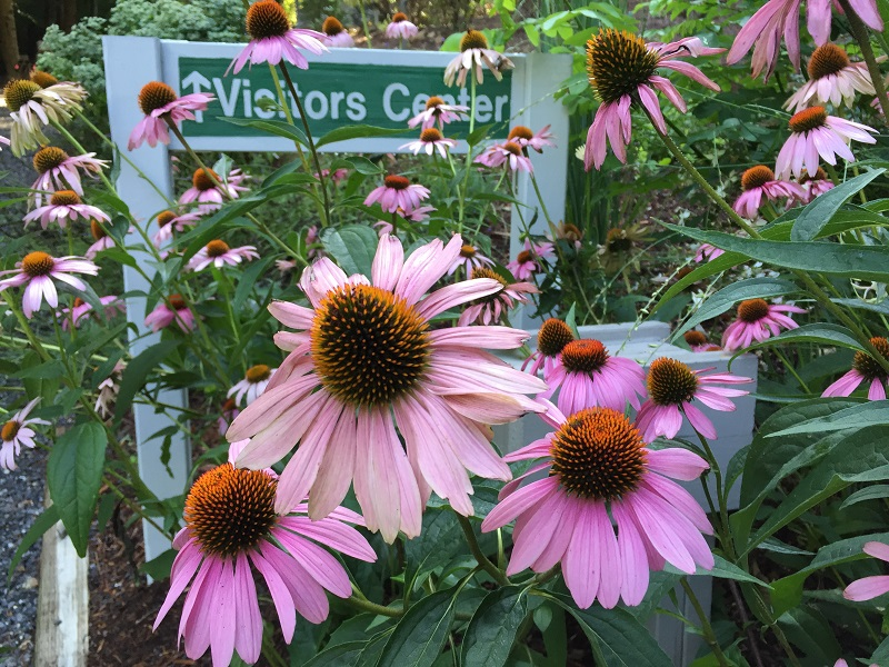 Purple Coneflowers July 2016 at Visitors Center sm