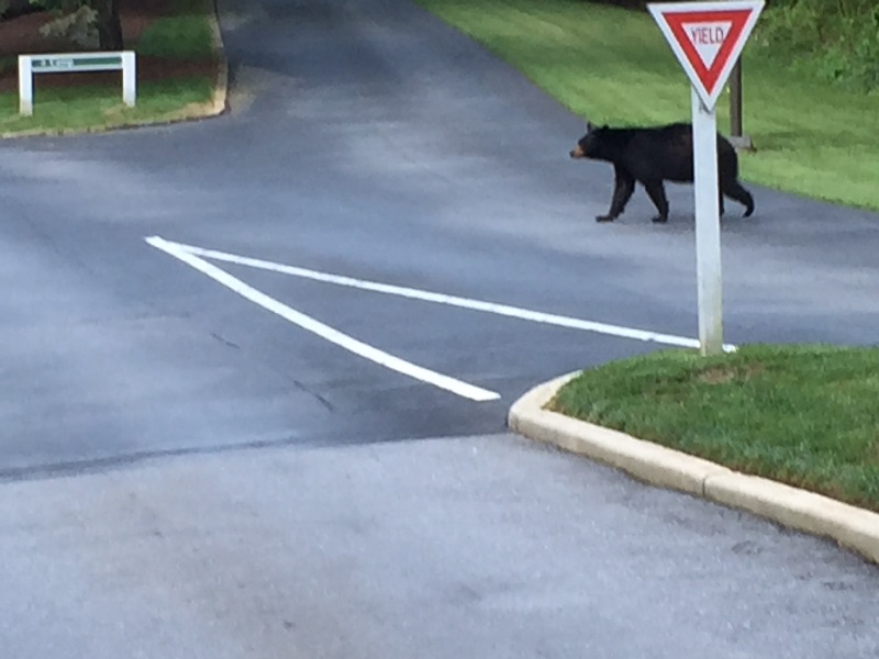 bear at yield sign July 2016