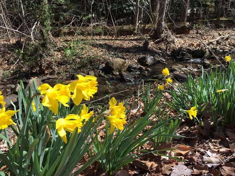 daffodils along the creek March 2017