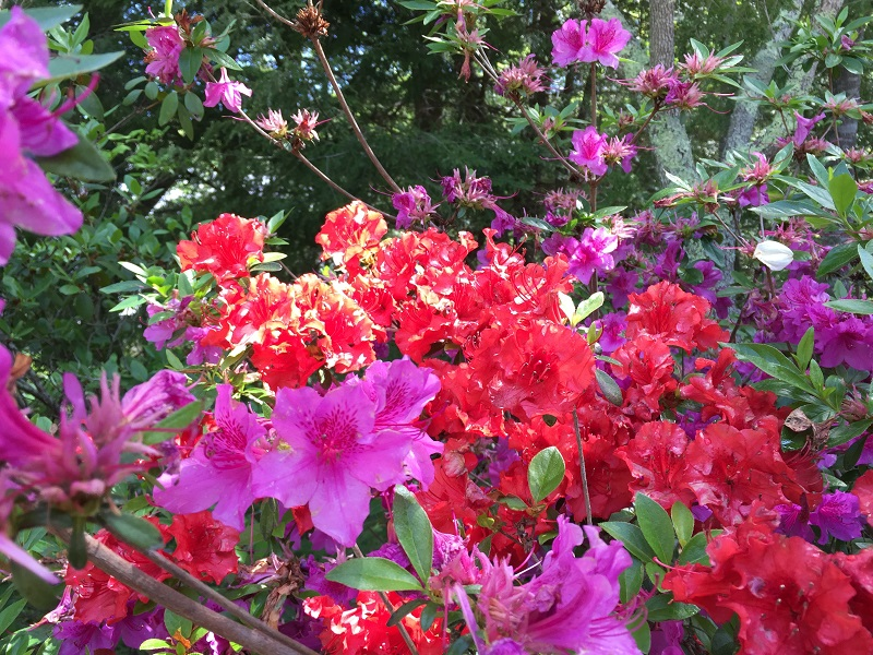 red and purple azaleas together