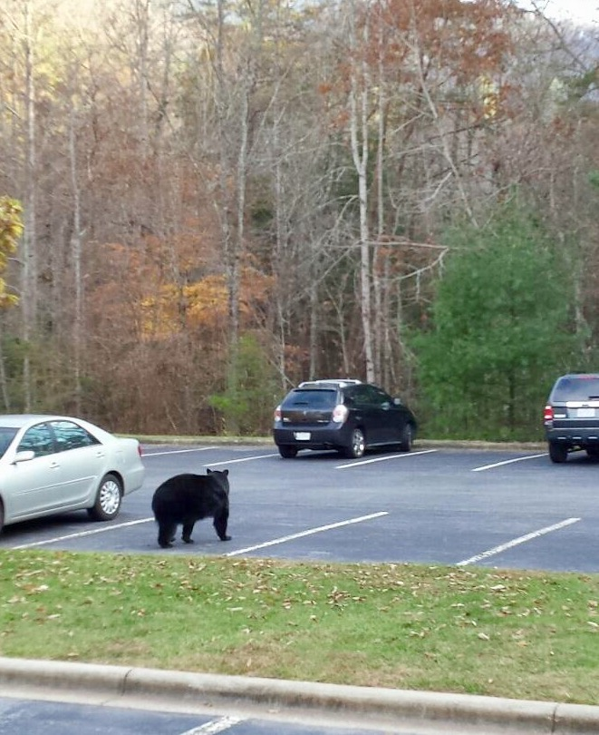 bear in parking lot November 2017